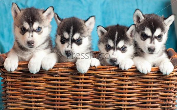 Три щенка хаски