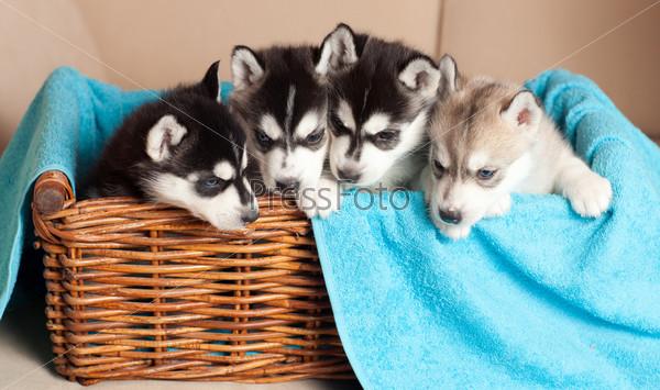 Фотография на тему Четыре щенка хаски