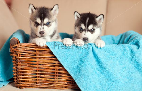 Фотография на тему Два щенка хаски