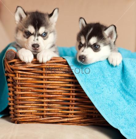Два щенка хаски