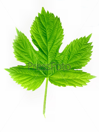 Зеленые листья хмеля, изолировано