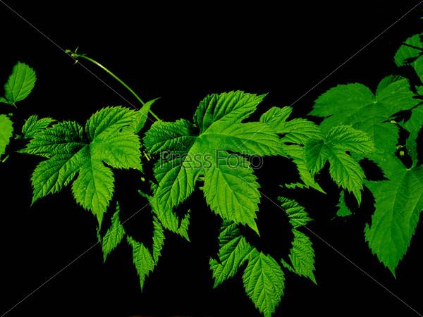 Зеленые листья хмеля на черном фоне