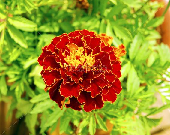 Красивый ярко-красный цветок