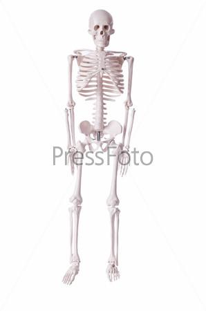 Скелет, изолированный на белом фоне