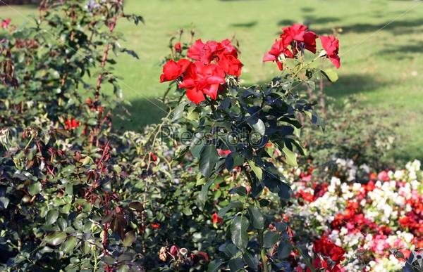 Красные парковые розы