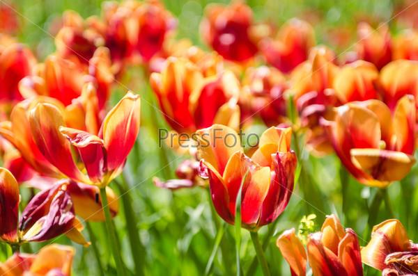 Поле тюльпанов с ясный летний день