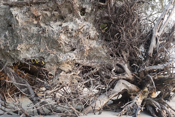 Фотография на тему Корни пальмы