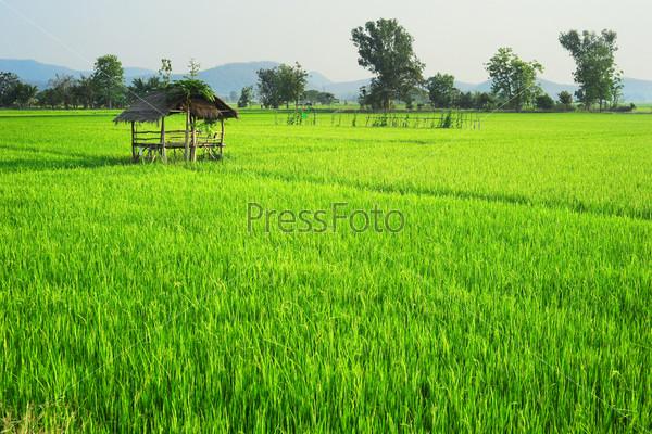 Фотография на тему Рисовое поле в Таиланде