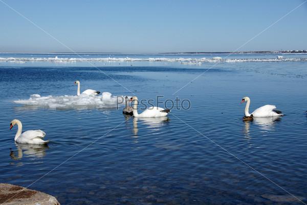 Белые лебеди на море