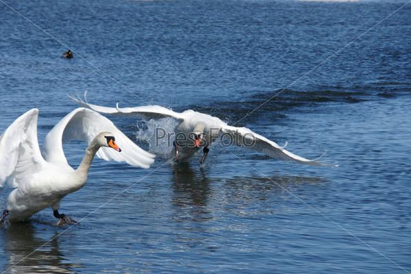 Лебедь в движении