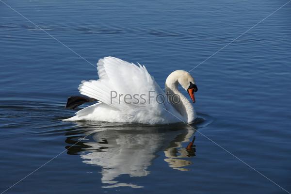 Белый лебедь на воде
