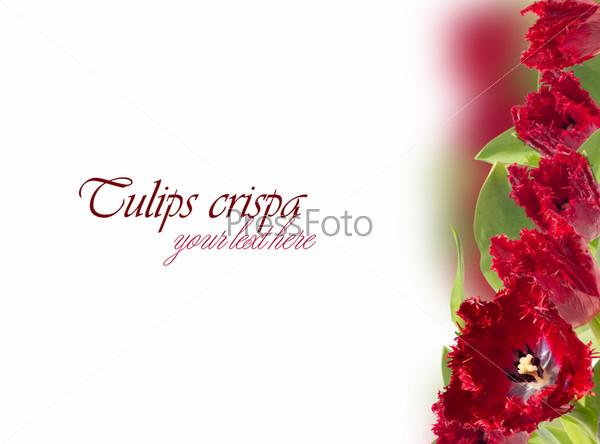 Махрове тюльпаны. Коллаж