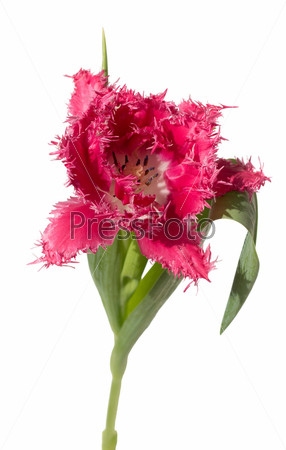 Розовый махровый тюльпан