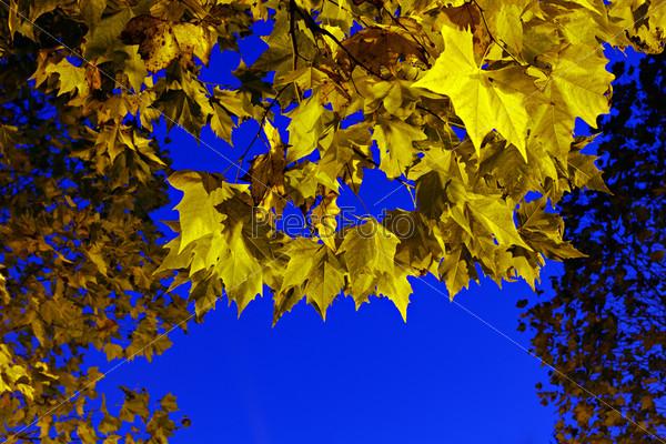 Желтые кленовые листья на фоне голубого неба