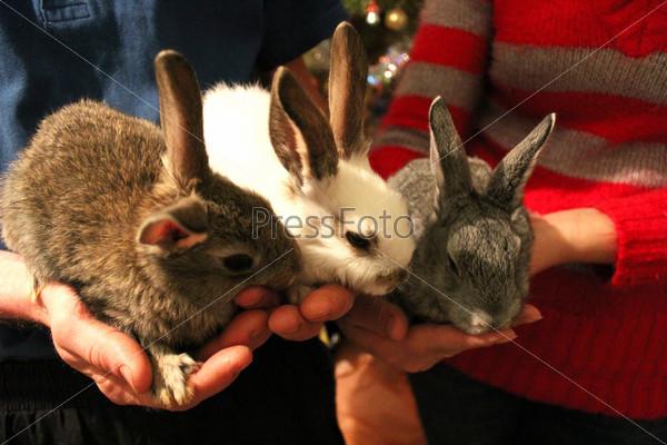 Выводок трех кроликов в руках