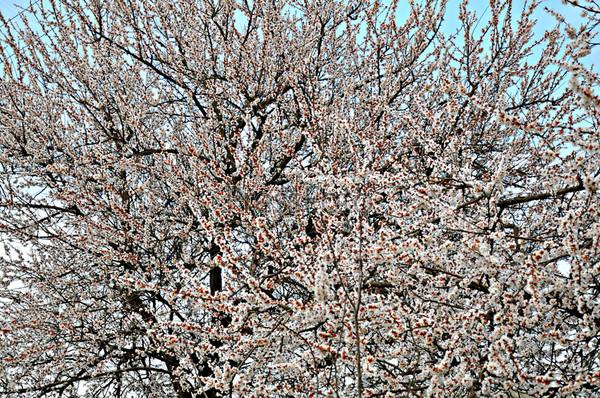 Фотография на тему Дерево в цвету
