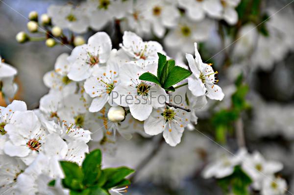 Цветущая веточка яблони