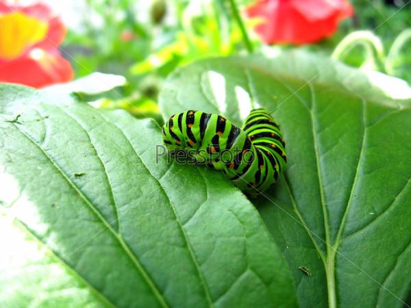 Фотография на тему Гусеница бабочки махаон на листе