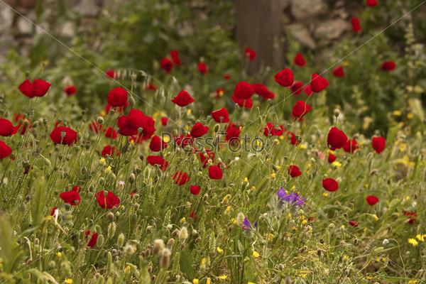 Фотография на тему Красные дикие маки в траве