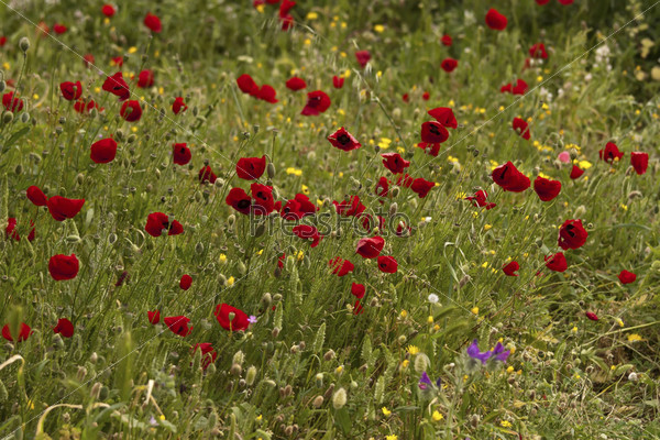 Красные дикие маки в траве