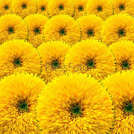 Фон, цветущие декоративные подсолнечники