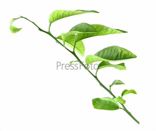 Росток цитрусового дерева