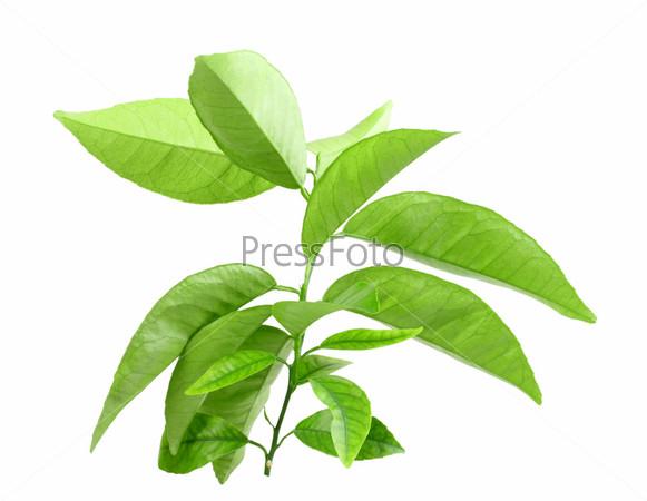 Ветка цитрусового дерева с зелеными листьями