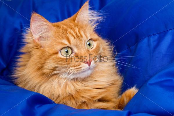 Рыжая кошка прячется в синем одеяле