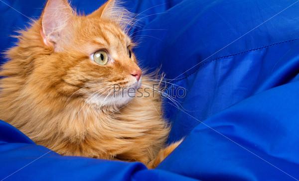 Фотография на тему Рыжая кошка прячется в синем одеяле