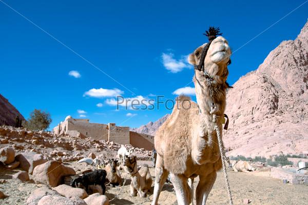 Верблюд в монастыре Святой Екатерины