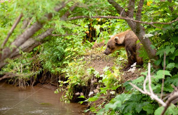 Фотография на тему Бурый медведь рыбачит в России на Камчатке