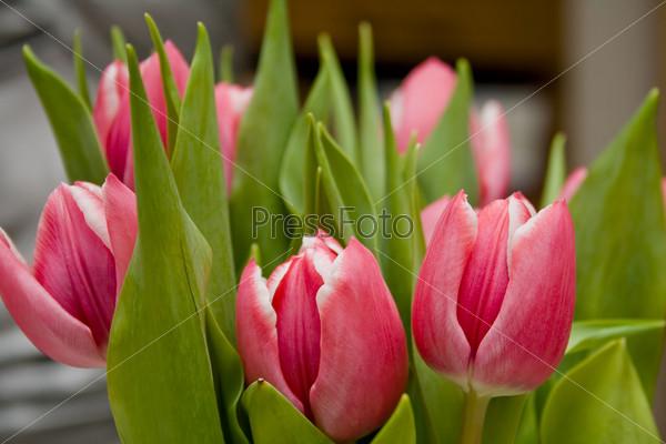 Розовые и белые тюльпаны с зелеными листьями