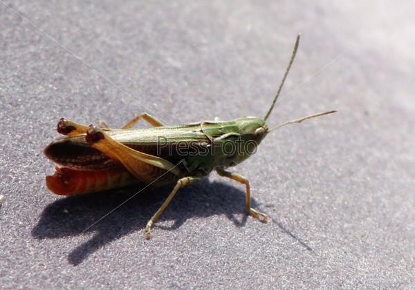 Фотография на тему Кузнечик зеленый на асфальте