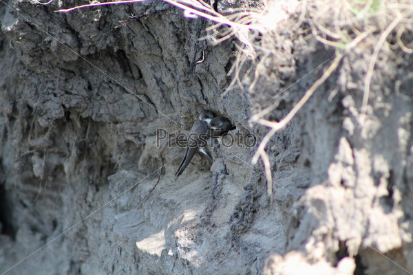 Черная ласточка на берегу