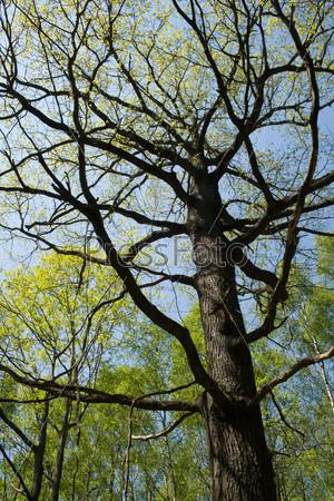 Фотография на тему Деревья на фоне голубого неба в начале весны