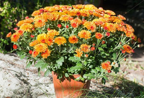 Оранжевые осенние хризантемы
