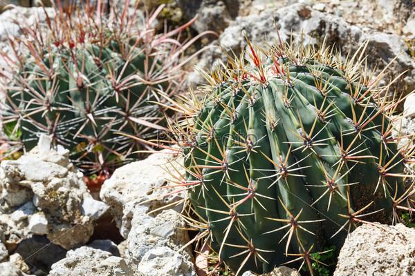 Колючий кактус