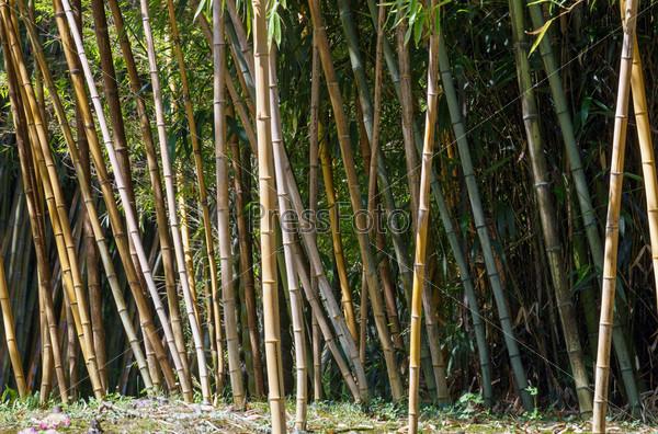 Фотография на тему Бамбук