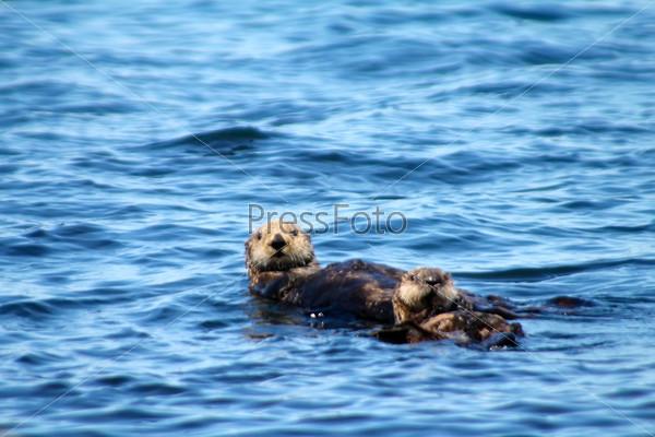 Морской бобер