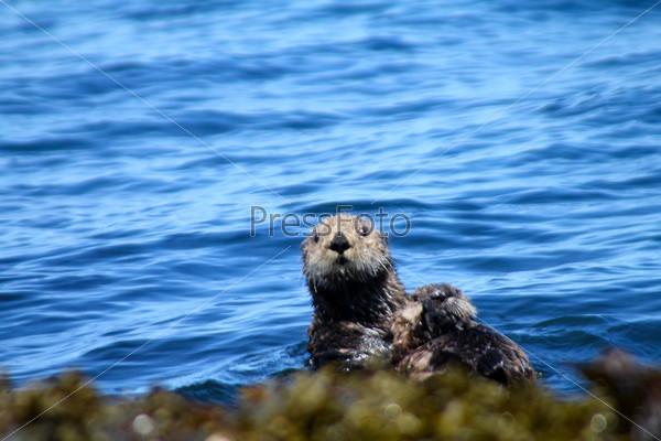 Фотография на тему Морской бобер