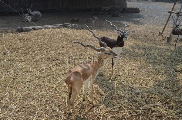Винторогие антилопы