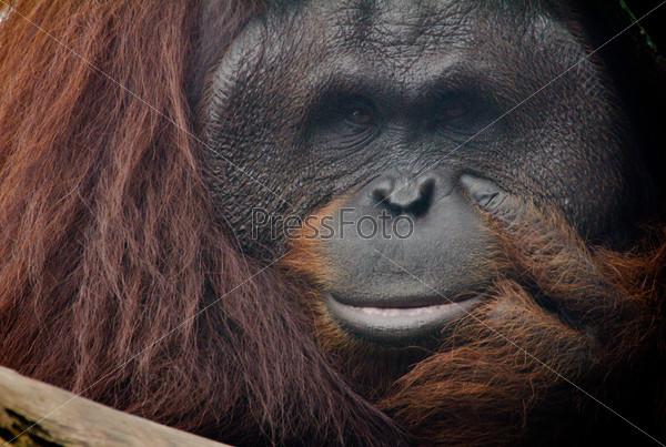 Фотография на тему Орангутан