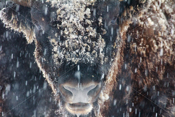 Портрет дикого зубра зимой