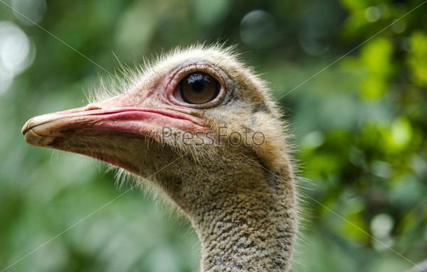 Голова страуса