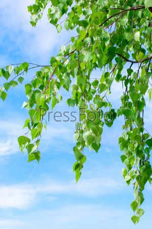 Фотография на тему Листья березы и голубое небо