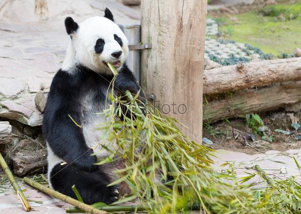 Фотография на тему Молодая панда в зоопарке