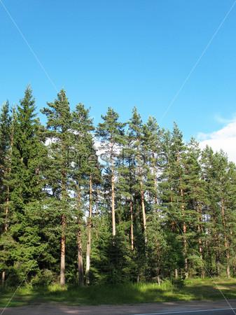 Лес на обочине дороги