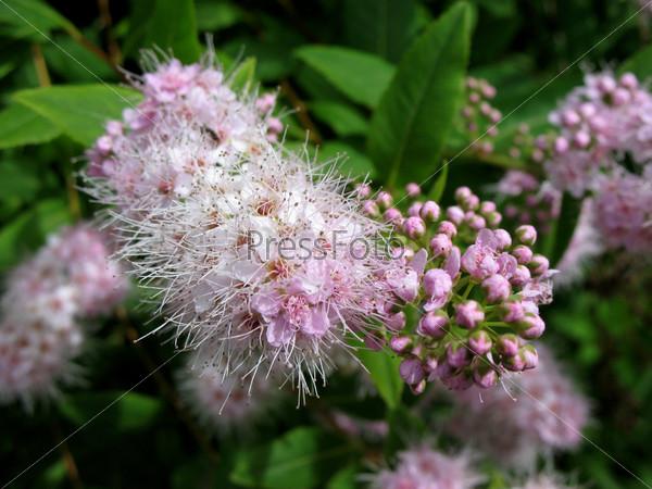Цветущая спирея японская, spiraea japonica, семейство розоцветные