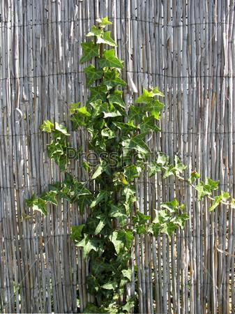 Фотография на тему Побеги плюща, hedera, семейство аралиевые, на ограде из тростника
