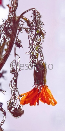 Цветок бархатца в инее